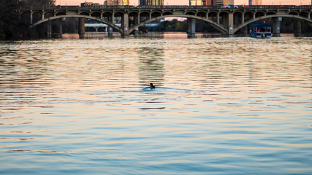 Ducks swimming in a river at the golden hour and sunset