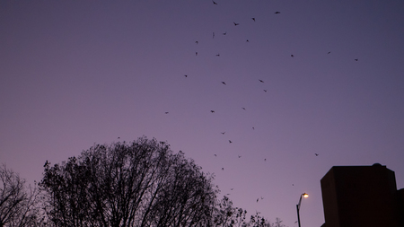 Bats flying up from their roost in a group at night in Austin Texas