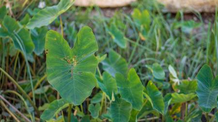 Elephant ear plants 版權商用圖片