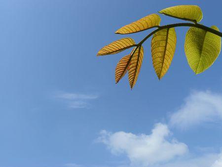 fond: Jeunes feuilles en contre jour sur fond de ciel avec nuages