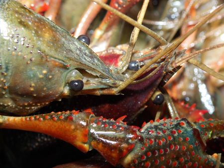fished: Living Louisiana crayfish fished in the Marais Poitevin, France