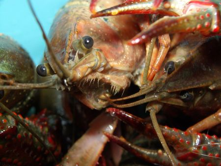 fished: Living Louisiana crayfish fished in the Marais Poitevin Stock Photo