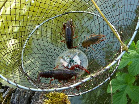 fished: Living Louisiana crayfish (Procambarus clarkii) fished in the Marais Poitevin, France Stock Photo