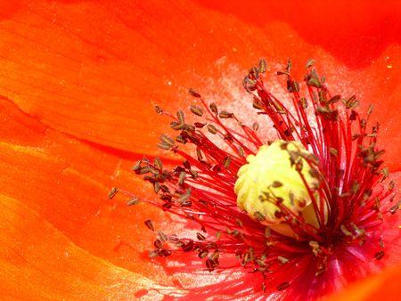 stami: di un fiore di papavero, stami, pistillo