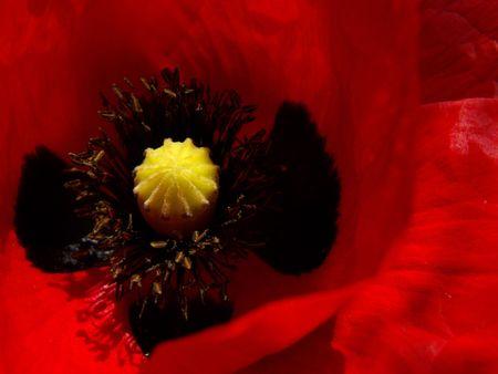 stami: papavero di un fiore, stami, pistillo Archivio Fotografico