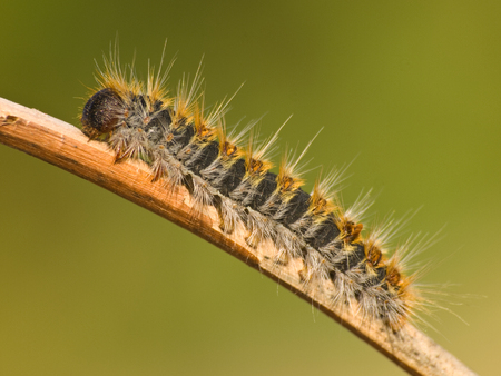Caterpillar Pine Processionary species Thaumetopoea pityocampa on natural green background 스톡 콘텐츠