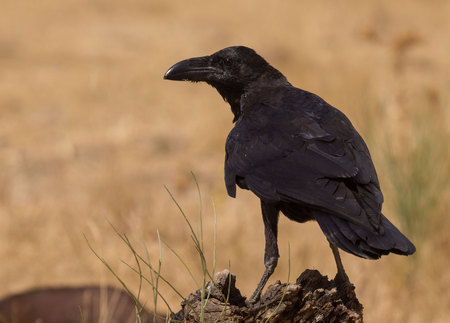 crow perched on old wood of tree (Corvus corax)