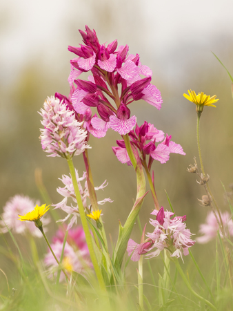beautiful scene of flowers in spring. wild orchids: oprys papilionacea and orchid italica in its natural environment. Extemadura, Spain