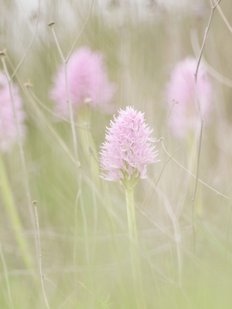 diffused spring background. wild orchids: orchid italica in its natural environment. Extemadura, Spain