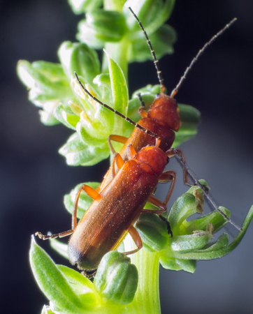 red beetle copulating in nature