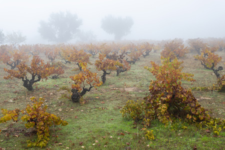 old vineyards with fog in autumn