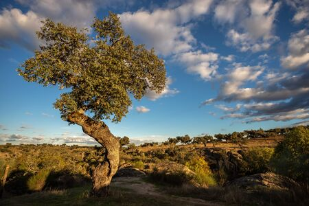 Landscape with holm oaks in the natural park of conrnalvo.