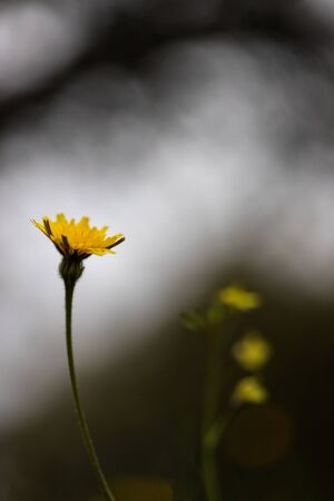 yellow dandelions in the grass with magic natural background Reklamní fotografie