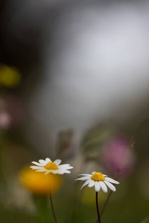 daisy flowers with magic natural background