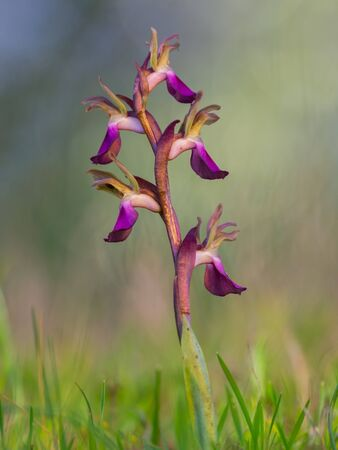 nice wild orchid in spring with evening light. anacamptis collina Reklamní fotografie
