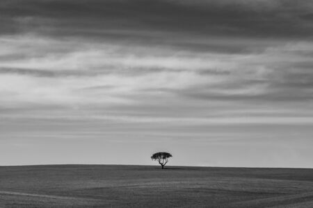 Black and white solitary tree. Landscape of Extremadura, Spain