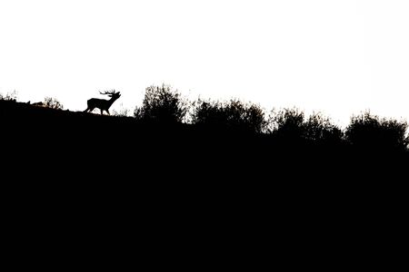 silhouette of a stag bawling in backlight in the Monfrague National Park Reklamní fotografie