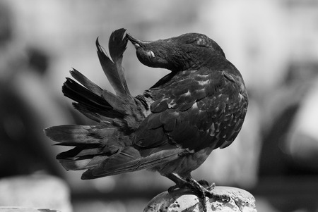 Artistic black and white photo of a pigeon in San Marco Square, Venice  photo