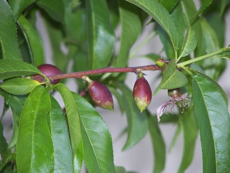 fruit starting to grow on a tree