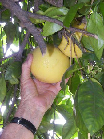 man picking a grapefruit