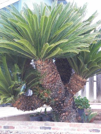 Mama Sego Palm