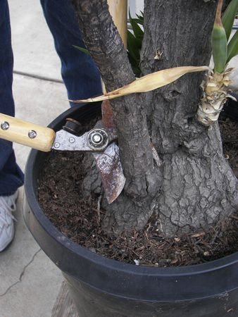 Pruning a Yucca Tree