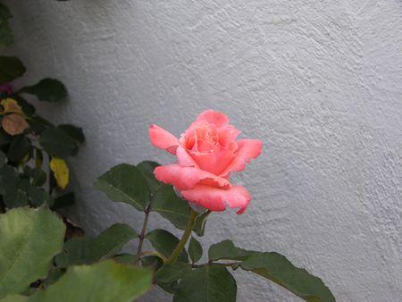 rose Фото со стока - 950834
