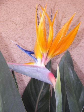 Bird of Paradise Standard-Bild