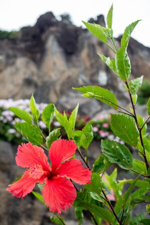 Flowers of the cliff in madeira