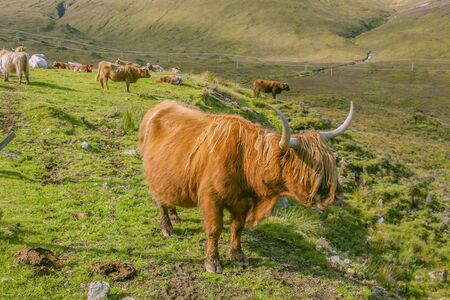 Grazing yak highland cow in a green summer field of sky Island, Scotland