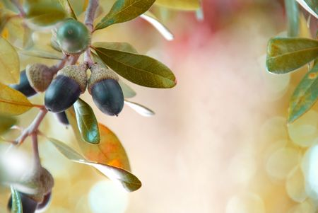 Southern Oak acorns ready to drop in autumn...shallow DOF