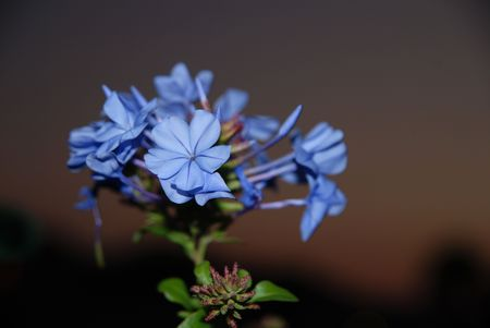 auriculata: A beautiful blue plumbago auriculata flower at dusk with shallow depth of field
