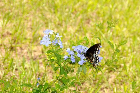 A beautiful monarch butterfly landing on plumbago auriculata flowers with shallow depth of field