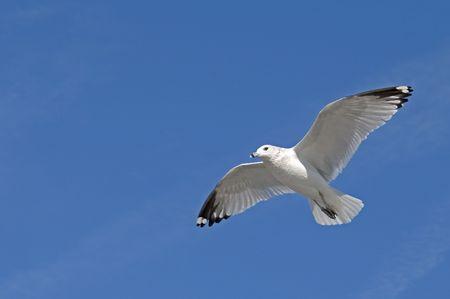 Herring Gull soaring against a blue sky