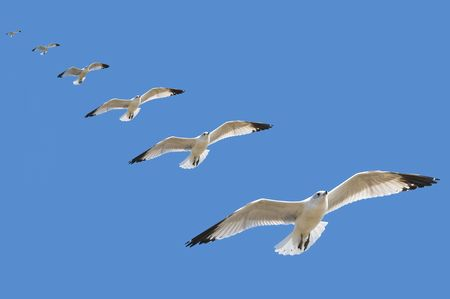 High speed multiple exposure of a seagull gliding to a landing with blue sky background Stok Fotoğraf