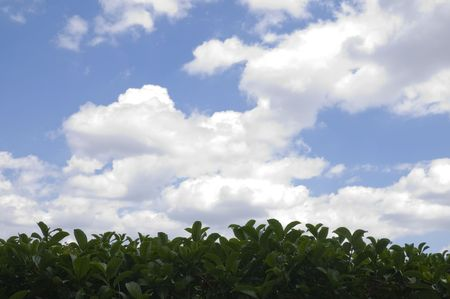 Hedgerow of green leaves and partly cloudy blue sky