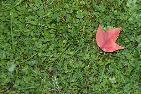 cloverleaf: Single red Maple Leaf during Autumn on a bed of grass and clover
