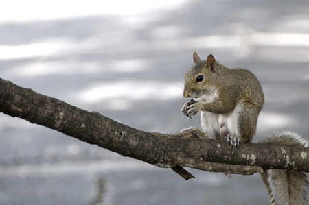 Male gray squirrel eating an acorn on a tree branch in the wild photo