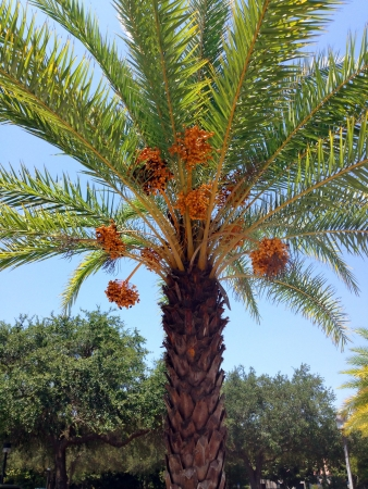 A Date Palm Tree ready to drop ripe dates photo