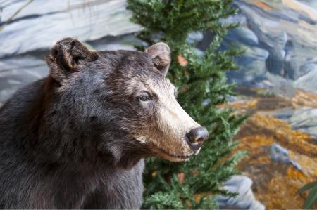 furry stuff: stuffed north american brown bear with shallow dof