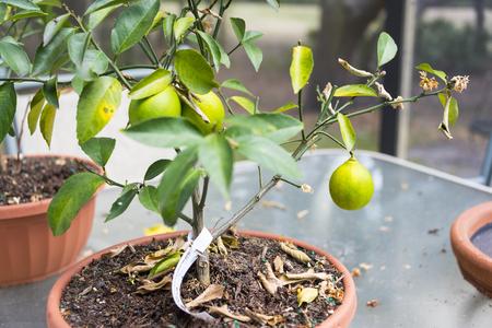 Small lemon tree plant ready to pick the yellowing fruit Stock Photo
