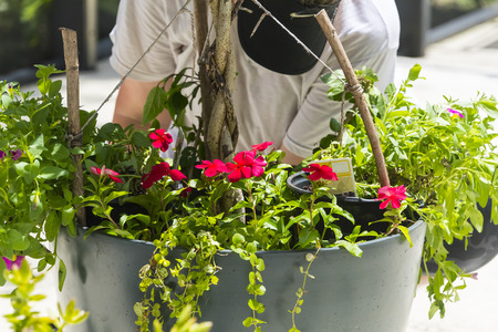 Planting bright red flowers in a new flower pot Stock Photo