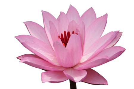 pink water-lilly isolated on white background Stock Photo