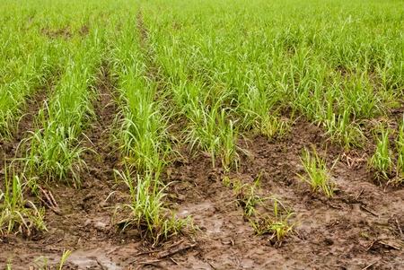 Baby sugar cane farmland after rain photo