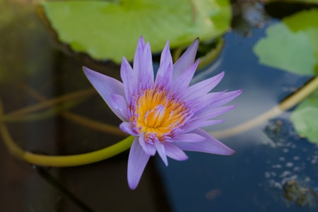 The lotus flower in the peaceful pond,Thailand Stock Photo - 10521058