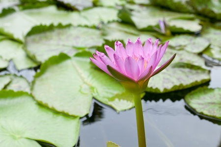 The lotus flower in the peaceful pond,Thailand Stock Photo - 10521059