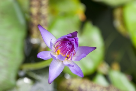 The lotus flower in the peaceful pond,Thailand Stock Photo - 10521054