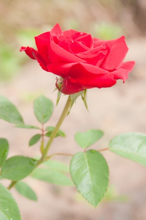 Red rose on branch in garden photo