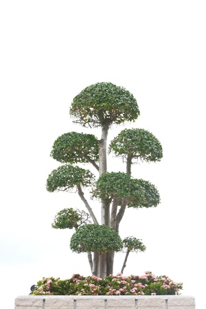 Bonsai tree isolated on white  Bonsai tree isolated on white photo