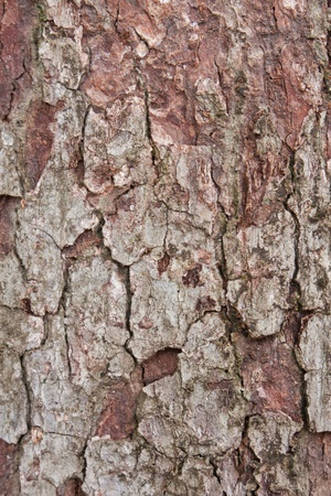 treetrunk: Bark on red old tree